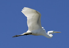 Egret birds - South Norfolk rookery - Virginia (watts_photos) Tags: egret birds south norfolk rookery virginia bird