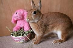 Ichigo san 754 (Ichigo Miyama) Tags: いちごさん。うさぎ ichigo san rabbit うさぎ netherlanddwarfbunny netherlanddwarf brown ネザーランドドワーフ ペット いちご