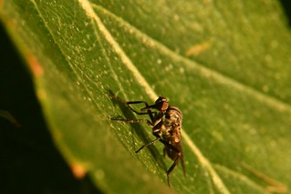Mosquito having breakfast while sunbathing