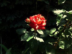 Rose flower, роза (Anna Gelashvili) Tags: rose flower цветокроза flowers цветочки garden красныецветочки roseflower