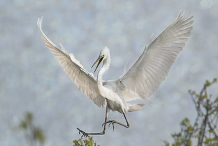 Great White Egret - Sky Dancer #3
