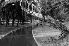 Quinta da Boa Vista (Johnny Photofucker) Tags: riodejaneiro rj quintadaboavista sãocristóvão brasil brazil brasile black white preto branco pb bw nero bianco lightroom parque park parco parc árvore albero tree 24105mm epífita