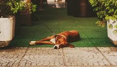 Stella/Sanski Most (bluishgreen12) Tags: dog sanskimost square bih bosnia bosniaandherzegovina lovackipas huntingdog posavac bar sleepy tired