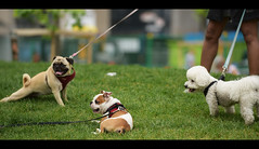 Little Dogs (Anthony Mark Images) Tags: portrait animals dogs littledogs grass leashes relaxing bulldog pug maltese berczypark stlawrencemarket toronto