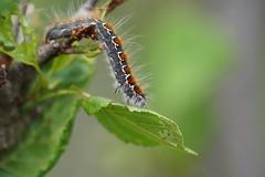 Stretching your limits (tusenord) Tags: missjö lepidoptera larver larvae fjäril fs170625 loning fotosondag summer stanna