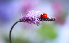 Ladybug 💜🐞🌾 (ElenAndreeva) Tags: flowers beauty spring color nature macro flower sun summer leaf natural cute colors insect canon pink garden magic little purple soft flora colorful sweet bug light best amazing ledybug no person