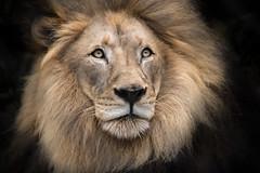 Mane Man (helenehoffman) Tags: pantheraleo feline conservationstatusvulnerable felidae mammal africa sandiegozoo cat bigcat lion carnivore mbari animal