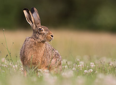 Brown Hare (Wouter's Wildlife Photography) Tags: brownhare hare animal nature naturephotography wildlife wildlifephotography mammal rodent lepuseuropaeus clover billund