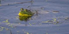 Bullfrog calling (My Kona Girl) Tags: bullfrog iowawildlife amphibian bullfrogcalling canon1dx canonef500mmf4lisusm canonef14xiii