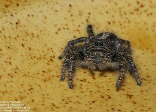 2017-06-23 Jumping Spider (Unidentified sp) 5518