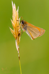 Small Skipper (ABPhotosUK) Tags: animals butterflies canon dartmoor devon ef100400mmisii ef25mmextensiontube eos7dmarkii hesperiidae invertebrates lepidoptera macro nocrop seasons smallskipper summer summerwatch thymelicussylvestris wildlife