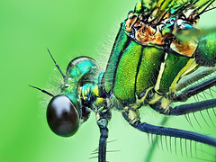 Women like color (pen3.de) Tags: wildlife naturlicht tier insekt libelle portrait prachtlibelle weiblich grün augen facettenaugen makro porträt details fühler colors langebeine haarig