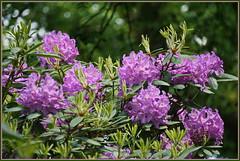 Ein Traum in lila ... (Kindergartenkinder) Tags: rhododendron grugapark essen gruga kindergartenkinder blumen