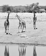 Namibian Reflections. (pstone646) Tags: giraffe nature blackandwhite namibia africa animals wildlife monochrome reflections fauna waterhole trio
