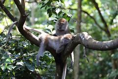 Singapore (richard.mcmanus.) Tags: singapore monkeys rainforest longtailedmacaques macaques monkey primate mcmanus animal