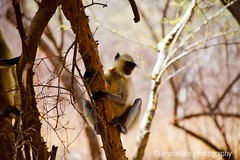 Monkey, Ranthambhore National Park, India (Immature Photography LLP) Tags: animal wildlife india ranthambhore nationalpark monkey