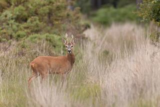 Roe Deer – Buck