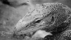 Hello world (lin.chinhu) Tags: reptile animal animalplanet cage incage zoo saigon vietnam thezoo reptilelover animallover portrait blackandwhite bw eyes eyestoeyes feeling sad deep