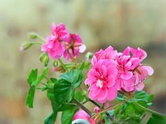 Pink (R_Ivanova) Tags: nature macro flower flowers pelargoniumpeltatum plant pink garden summer sony colors color rivanova риванова природа цветя сакъзче