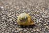 Snail 5 (elzauer) Tags: laufen bayern germany de macro animalantenna animalshell animalthemes animalsinthewild colourimage day differentialfocus elevatedview imagefocustechnique outdoors photography street textured wildlife snail