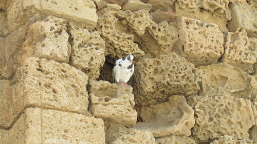 Coo! coo! in Famagusta ruins