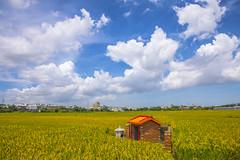 豐收 (Chia Hsien) Tags: 臺灣 台灣 稻田 藍天白雲 植物 農作物 農田 稻米 穀物 稻穗 農夫 土地公 習俗 taiwan asia crop paddy ricefield localculture 晴天 sunnyday outdoor rice