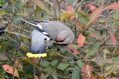 HNS_1098 Pestvogel : Jaseur boreal : Bombycilla garrulus : Seidenschwanz : Bohemian Waxwing