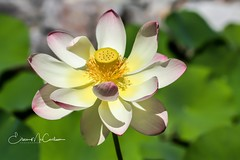 Lotus Flower (eileen.mccallum) Tags: lotusflower flower garden