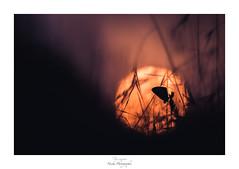 Effluves solaires (Naska Photographie) Tags: naska photographie photo photographe paysage proxy proxyphoto printemps papillon macro macrophotographie macrophoto nature sauvage extérieur soleil sun sunset sunlight sunrise chaleur hot ambiance univers onirique onirisme minimaliste mini butterfly butterflie argus azuré imaginaire zen zenitude repos couché