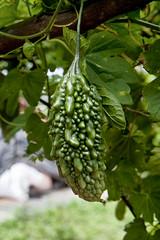 Alimentos (conseasegurançaalimentar) Tags: agricultura familiar paa agroecologia agroecológica pref eds horticultura horta alimentos orgânico viveiro mudas melão sãocaetano