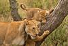 Lions of Maasai Kopjes 411 (Grete Howard) Tags: bestsafarioperator bestsafaricompany africa africansafari africanbush africananimals whichsafaricompany whichsafarioperator tanzania serengeti animals animalsofafrica animalphotos lions lioncubs maasaikopjes kopjes kopje