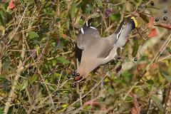 HNS_0877 Pestvogel : Jaseur boreal : Bombycilla garrulus : Seidenschwanz : Bohemian Waxwing