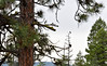 Osprey in Pine Forest (Carolyn H. - Travel & Nature Photographer) Tags: forested forest trees bird animal perch perched osprey treetop outdoors outdoor nature wildlife nikon d5500