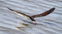Skimming (tresed47) Tags: 2017 201706jun 20170601newjerseybirds birds blackskimmer canon7d content ebforsythenwr flightshot folder general june newjersey peterscamera petersphotos places season spring takenby tern us ngc npc