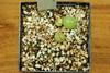 1er juillet 2017 - Conophytum danielii, 222 jours (Mafate79) Tags: 2017 conophytumdanielii aizoaceae aizoacées aizoacée mesemb mesembryanthemaceae mesembryanthemacées mesembryanthemacée plante semis s16046