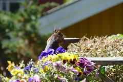 P1000698 (FAJM) Tags: ekorre squirrel écureuil ardilla scoiattolo egern ekorn orava orav sweden sverige viggbyholm stockholm sciurusvulgaris redsquirrel