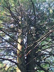Cthulhu tree , 2 (Inés Luque Aravena) Tags: albero árbol tree branch rama ramo valdivia chile sur natura nature naturaleza jardín giardino garden botánico botanic