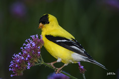 American Goldfinch  (male) (jt893x) Tags: 150600mm americangoldfinch bird d500 finch goldfinch jt893x male nikond500 sigma sigma150600mmf563dgoshsms spinustristis specanimal