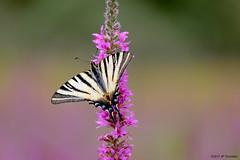 Flambé (jpto_55) Tags: papillon insecte flambé papillonflambé proxi bokeh xe1 fuji fujifilm fujixf55200mmf3548rlmois saintefoydepeyrolière hautegaronne france