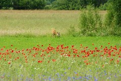 Roe on a colored field (Jurek.P) Tags: roe roedeer sarna pole field meadow łąka mazury masuria poland polska poppies grass nature natura jurekp sonya77 maki