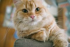 小胖豆 (ChCh Chen) Tags: cat cats kitten kitty life lifestyle vsco sony 35mm