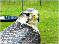 Falcon Portrait .. (** Janets Photos **) Tags: uk hull events publicparks falcons birdsofpreyportraits