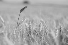 Strohhalm (G. Lang) Tags: getreidefeld tamronaf90mm128macro11 blackandwhite monochrome kornfeld import07072017 einfarbig grainfield sonyilce7m2 bw sonyalpha7ii schwarzweis noiretblanc blackwhite