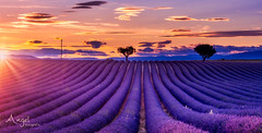 color explosion at sunset (Wilma van Oorschot) Tags: wilmavanoorschot angelphotography olympusem5 olympusomde5 olympus sunset summer lavender lavenderfields purple outdoor poetry colors valensole france hauteprovence provence
