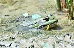 Cooling off. (pstone646) Tags: frog marshfrog amphibian nature animal wildlife pond closeup elmley kent fauna