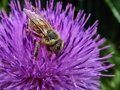 Biene nimmt ein Pollenbad. (Wallus2010) Tags: diestel pollen nektar