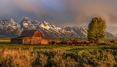 Mormon Row Barn with Buffalo (Cole Chase Photography) Tags: tetons wyoming buffallo grandtetons bison sunrise