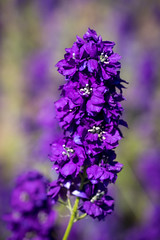 stem (Ruth Flickr) Tags: england wick worcestershire colour confetti delphinium farm field flora flowers horticulture larkspur seasonal summer