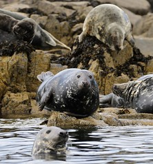 Grey Seals (Halichoerus grypus) (R.Miller1979) Tags: grey seal fauna mammal mammals group nature naturereserve northumberland farne islands wildlife sea water coast coastline rocks halichoerus grypus sleepy lazy gang