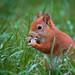 Wilma das Eichhörnchen